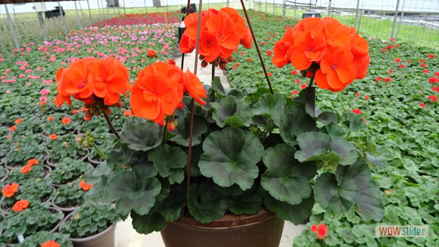 True Orange Geraniums